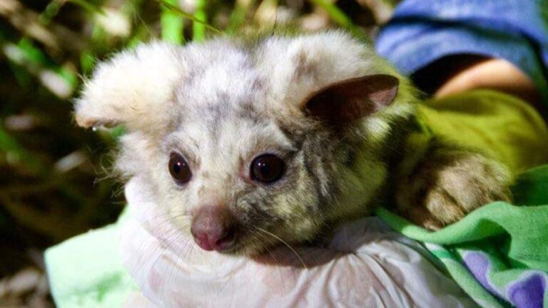 the fold illawarra life in the canopy possums gliders and other arboreal mammals 768x432